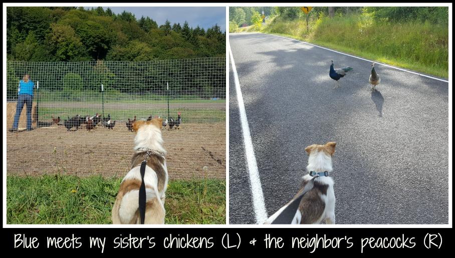 Blue meets chickens  & peacocks