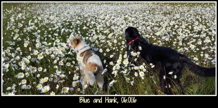 Hank and Blue 05.30.16 small framed