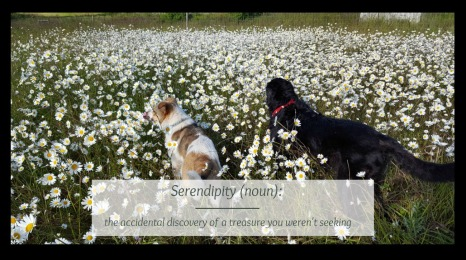 Serendipity with dogs in daisies